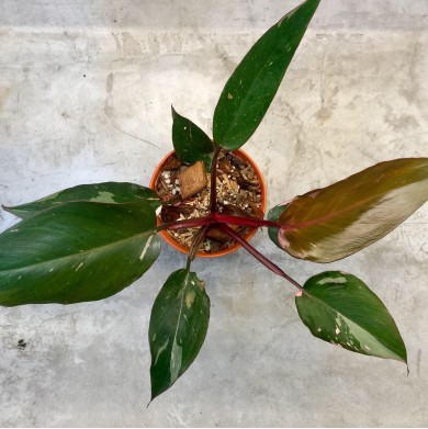 Philodendron Pink Princess - 3