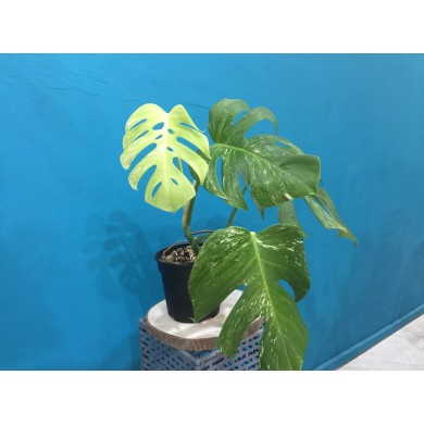 Monstera Albo Variegated 002