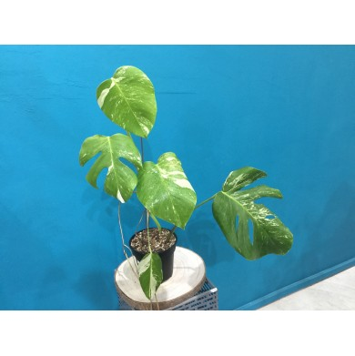 Monstera Albo Variegated 003